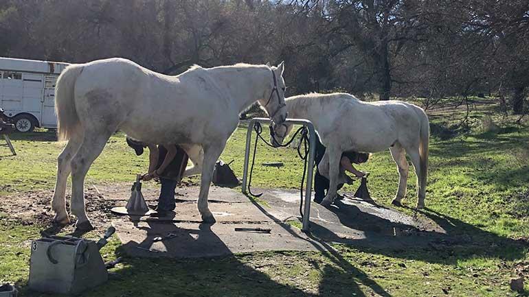 A farrier shoeing a horse